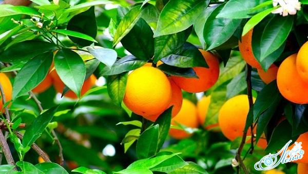К чему снится апельсиновое дерево и активная роль в сексе
