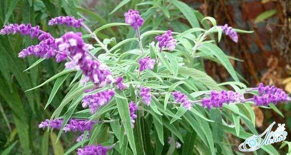 растение шалфей