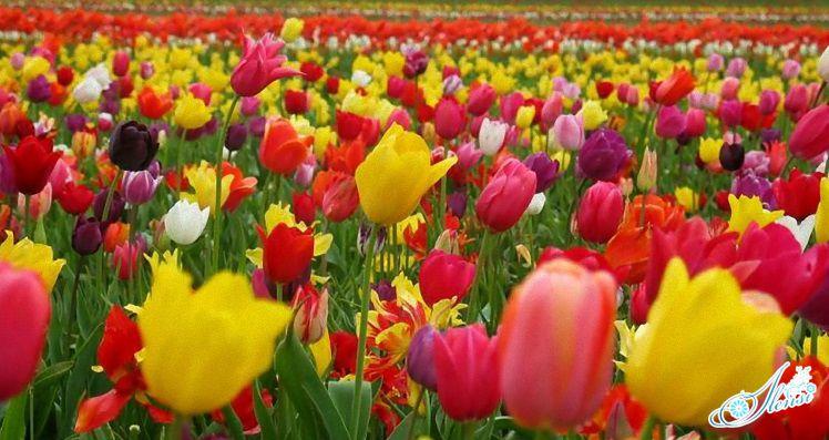 поле тюльпанов во сне