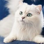 Белый кот