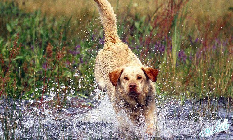 Бегущая собака.